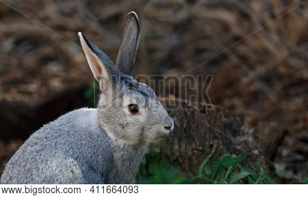 Wild, Grey Young Rabbit Eating Grass And Grooming On A Summers Morning In Nature. Rabbit Is Facing R