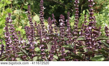 Sage Bloom In A Flower Garden Full Frame, Dark Purple Inflorescences On Long Stems With Pink Petals