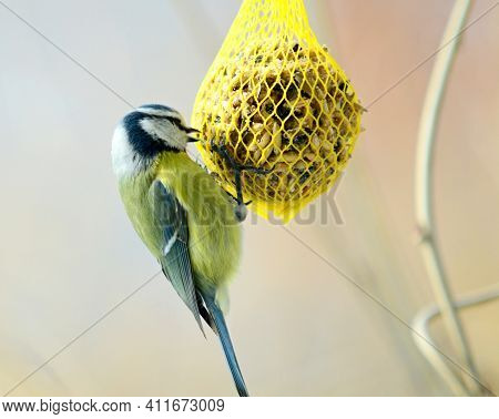 Closeup Of Cute Great Tit Bird (cyanistes Caeruleus) Hanging On Net Suet Feeder.