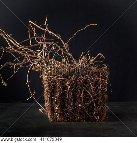 Block of dried soil with exposed root of a plant on black background. Botanical objects and background.