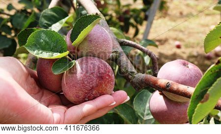 Red Garden Apples On A Tree Branch Gently Supported By A Female Palm, Orchard In Detail During The H