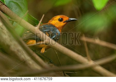 Red-capped Robin-chat Or Natal Robin - Cossypha Natalensis Bird In The Family Muscicapidae, Found In