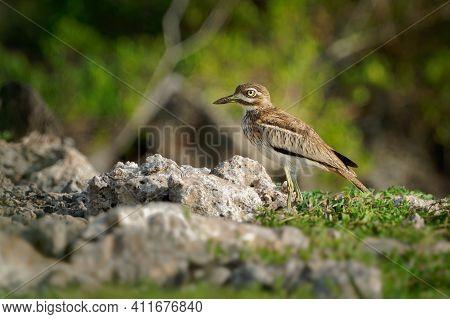 Water Thick-knee - Burhinus Vermiculatus Or Water Dikkop. Bird In The Thick-knee Family Burhinidae,