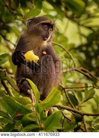 Sykes Monkey - Cercopithecus Albogularis Also Known White-throated Or Samango Or Silver Or Black Or