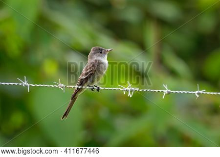 Western Wood-pewee - Contopus Sordidulus Small Tyrant Flycatcher. Adults Are Gray-olive On The Upper