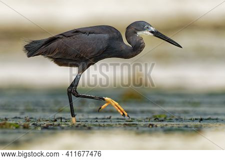 Western Reef Heron - Egretta Gularis Also Western Reef Egret, Medium-sized Heron Found In Southern E