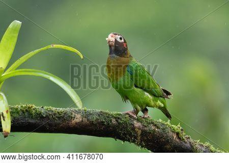Portrait Of Light Green Parrot With Brown Head, Brown-hooded Parrot, Pionopsitta Haematotis. Wildlif