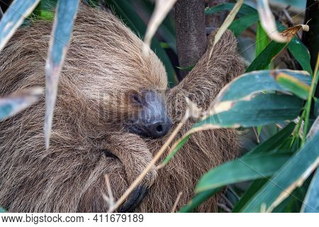 Two-toed sloth, Choloepus didactylus, sleeping in a tree. This nocturnal and arboreal species is indigenous to South America.