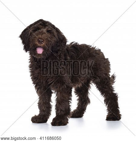 Adorable Dark Brown Cobberdog Aka Labradoodle Pup, Standing Side Ways With Tongue Out. Looking Towar