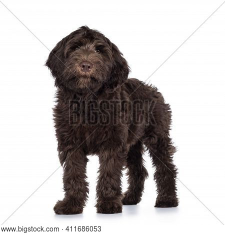Adorable Dark Brown Cobberdog Aka Labradoodle Pup, Standing Side Ways With Closed Mouth. Looking Tow