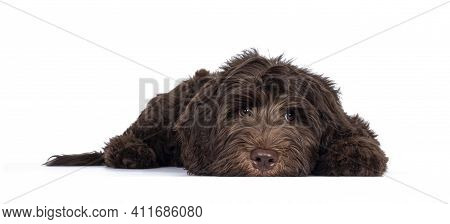 Adorable Dark Brown Cobberdog Aka Labradoodle Pup, Laying Down Facing Front Head Completely Down. Lo