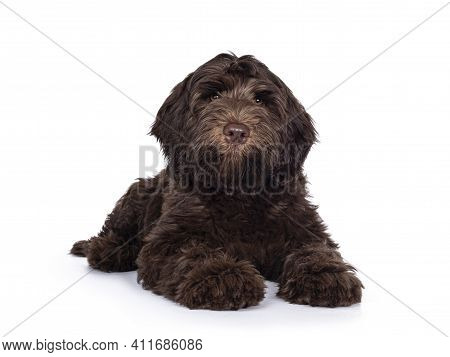 Adorable Dark Brown Cobberdog Aka Labradoodle Pup, Laying Down Facing Front With Closed Mouth. Looki