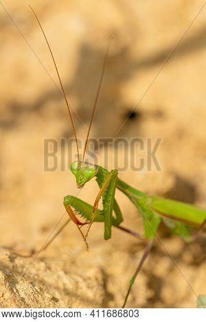 Close-up View A Praying Mantis. (mantis Religiosa)
