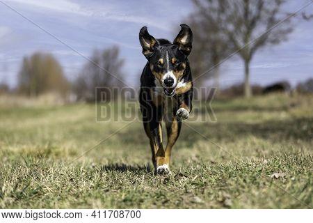 Close Up Image Of Tricolor Dog Running On Green Blurry Background, Appenzeller Sennenhund