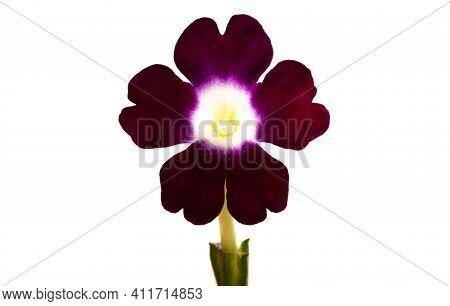 Verbena  Beautiful Flower Isolated On White Background