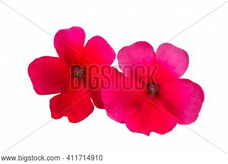 Red  Flower Verbena Isolated On White Background