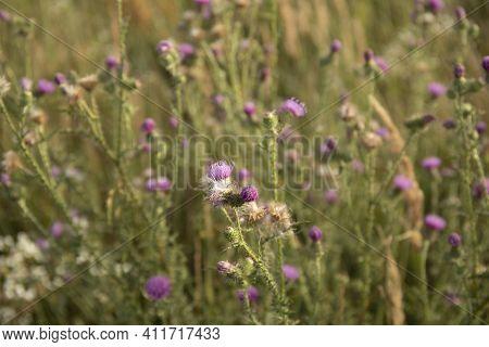 Field With Flowering Silybum Marianum Milk Thistle Herbal Plants.