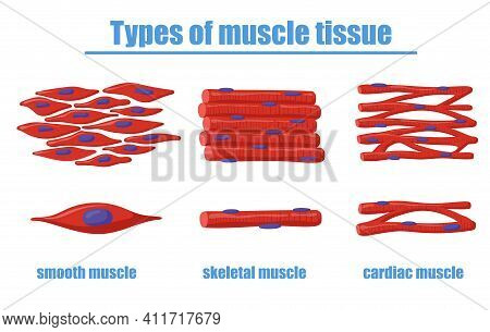 Different Types Of Muscle Tissue Vector Illustration. Smooth, Skeletal And Cardiac Muscles Of Human