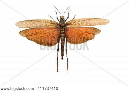 Locust Emperor With Spread Wings Isolated On White Background. Tropidacris Imperator.
