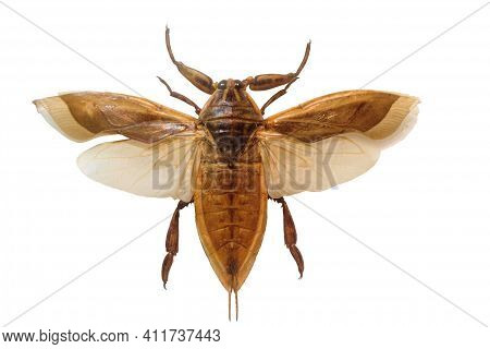 Giant Bug Belastoma. Giant Insect On White Background.