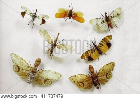 Various Butterflies Of The Lantern Family On White Flat Surface. Fulgoridae Cicadas Nose Butterflies