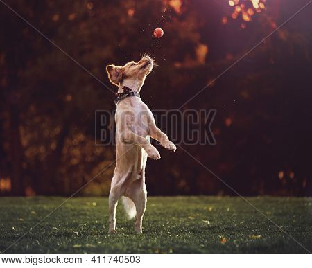 golden retriever playing fetch with a tennis ball on fall evening