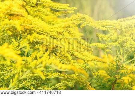 Blurred Background. Yellow Flowers Solidago (common Goldenrod). Summer And Spring Backgrounds. Selec