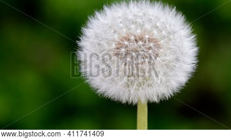 Dandelion On Green Background Beautiful Flower Blossom Flower White And Green Blowing Flower Spring