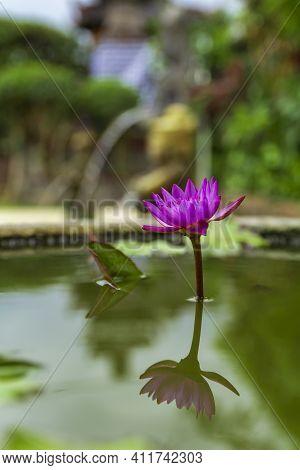 Beautiful Purple Lotus Flower In Flower Pot Blooming, Purple Lotus Flower Water Lilies On Green Leav