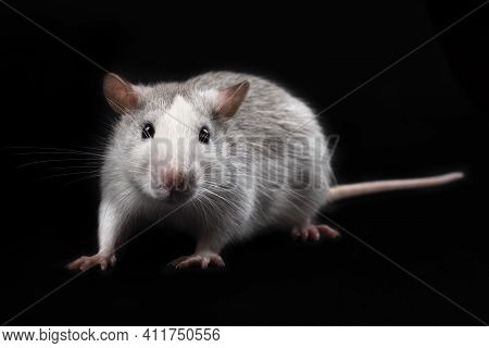 Gray Rat Isolated On Black Background. Rodent Pet. Domesticated Rat Full Length Close Up. The Rat Wi