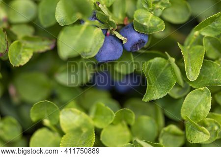 Wild Ripe Bilberry In Its Bush Closeup.  European Blueberry Or Vaccinium Myrtillus Growing On The Mo