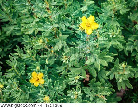 Potentilla Fruticosa Goldstar Shrubby Cinquefoil