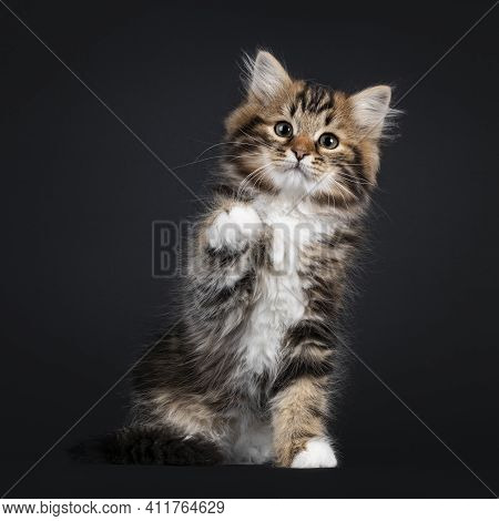 Gorgeous Brown Tabby Siberian Cat Kitten, Sitting Facing Front With One Paw Playful Up. Looking Stra