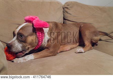Pitbull Puppy Takes Is Sleepy And Relaxing On Your Couch.