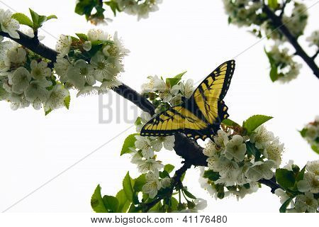 Yellow Swallowtail Butterfly on Cherry Tree Blossoms