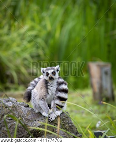 A Cute Fluffy Ring-tailed Lemur In The Zoo.