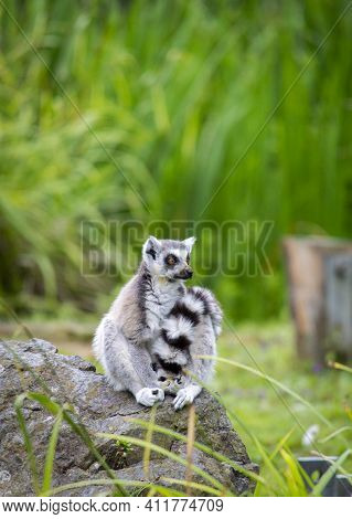 A Cute Fluffy Ring-tailed Lemur In The Park.