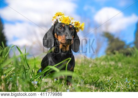 Portrait Of Cute Dachshund Puppy With Beautiful White And Yellow Flower Wreath On Its Head Posing In