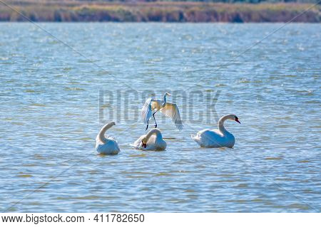 Graceful Water Birds, White Swan And White And Grey Herons Swimming In The Lake. The Mute Swan, Lat.