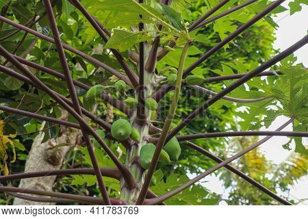 Geen Texture Closeup. Geen Plants And Trees In Nature Concept. Papaya Leaf. Surface Appearance Of Pa