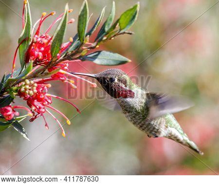 Anna's Hummingbird Adult Male Hovering And Sipping Nectar. Santa Cruz, California, Usa.