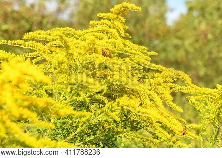 Bee And Flower. Bees Collecting Pollen On A Yellow Flower Solidago (goldenrod Common) On A Sunny Bri