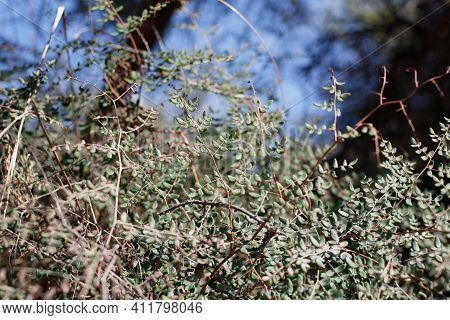 Bipinnate Alternate Rounded Recurved Entirely Margined Glabrous Leaves Of Chaparral Cliffbrake, Pell