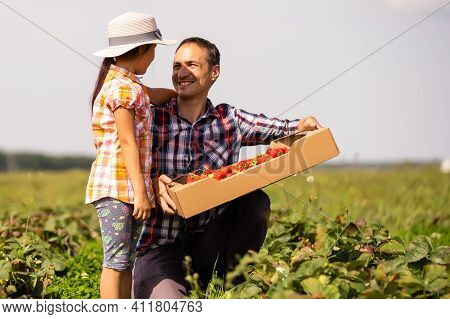 Young Man Farmer Working In The Garden, Picking Strawberries For His Toddler Daughter