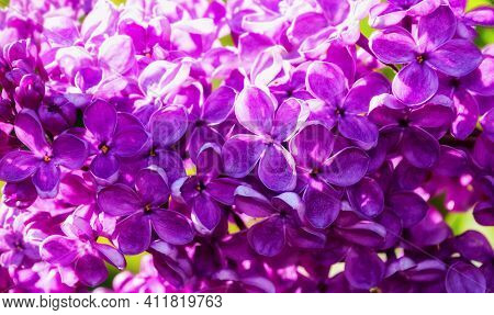 Flower landscape,lilac flowers,flower garden in spring.Spring flowers of pink lilac,blooming lilac in the spring garden.Spring flower landscape,flower nature,flowers in bloom,lilac flowers, spring flowers in blossom,lilac flowers under sun