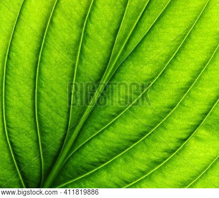 Green leaf texture macro closeup. Leaves veins and grooves. Pattern nature eco green background.