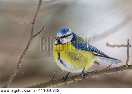 Blue Tit Looking Into The Camera With Curiosity
