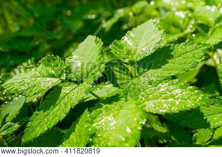 Forest background,forest greenery,forest plants. Forest plants in the spring forest.Leaves of bishop\'s weed, in Latin Aegopodium podagraria under soft sunlight in the forest