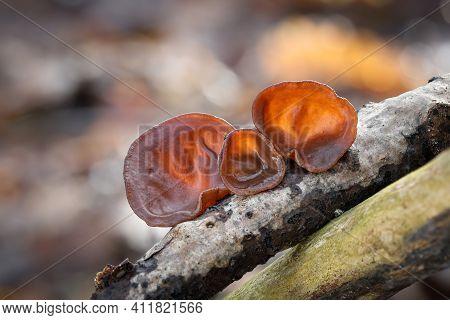 Closeup Shot Of Edible Mushrooms Known As Wood Ear Or Jews Ear Or Jelly Ear (auricularia Auricula-ju