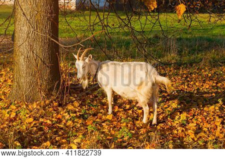 Goat portrait, goat outside. White goat in the countryside in autumn, domestic goat outdoors in the pasture,white cute goat ourdoors,portrait of the white domeatic goat. Goat closeup
